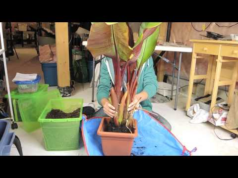 Banana - Time to prepare for Winter - Ensete ventricosum 'Maurelii'