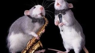 How to Train a Rat | Pet Rats