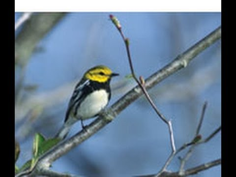 Millions of songbirds in danger
