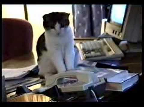 Thumbnail for Cat Video Cat answers office phone