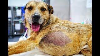 perrito-rescatado-de-las-calles-con-algo-enorme-dentro-necesitaba-ayuda-urgente