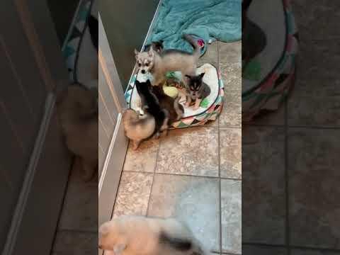 Alaskan Klee Kai puppies at play