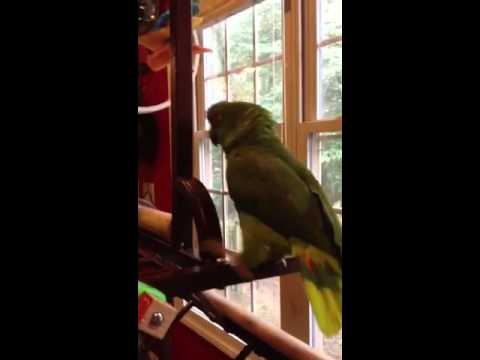 Amazon parrot sings Margaritaville