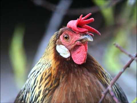 Chicken SONG techno