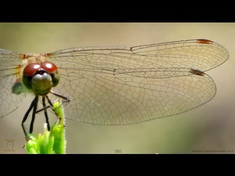 Dragonfly Wings in Slow Motion - Smarter Every Day 91