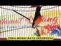 Paling Efektif Pancingan Murai Batu Untuk Burung Yang Stres Dan Bisu Di Jamin Langsung Bongkar Isian  Mp3 - Mp4 Download