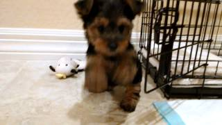 New Yorkshire Terrier Puppy (9 Weeks)