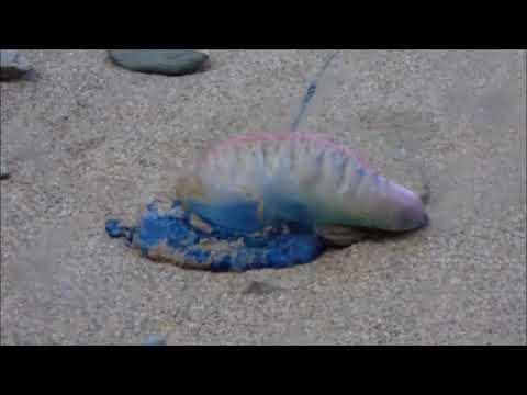 Portuguese Man o War , Whipsederry beach ,Newquay Cornwall