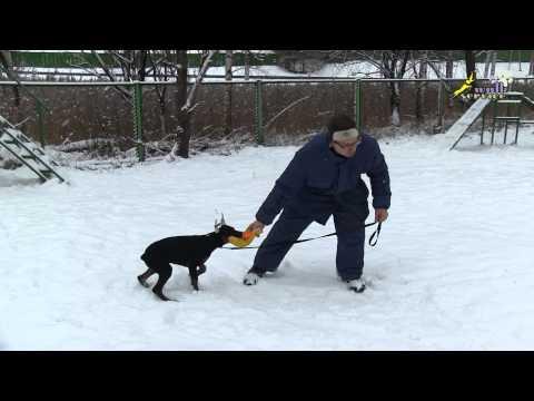 Доберман дрессировка, игра со щенком, как это делать правильно