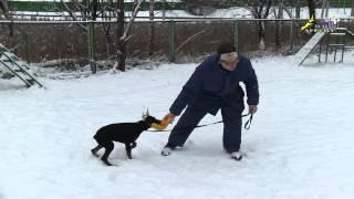 Доберман дрессировка, игра со щенком, как это делать правильно(http://www.walkservice.ru/Forum - для ОБСУЖДЕНИЙ и вопросов, и не забывайте ставить НРАВИТСЯ и ПОДПИСЫВАТЬСЯ. Съёмка занят..., 2013-12-16T09:52:09.000Z)
