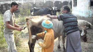 JAGO GAON: Reality Of The Rural India [Cow's Treatment]