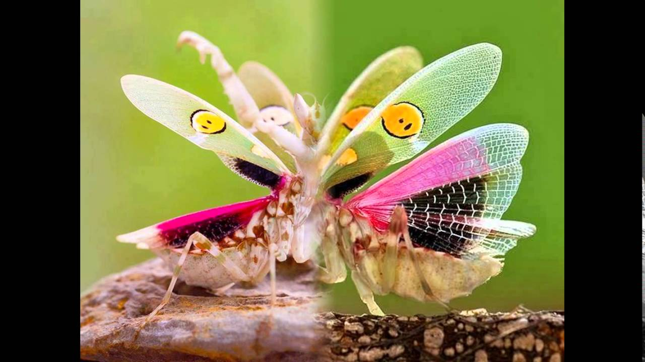 Indian flower mantis has smiley faces on his wings youtube indian flower mantis has smiley faces on his wings dhlflorist Image collections