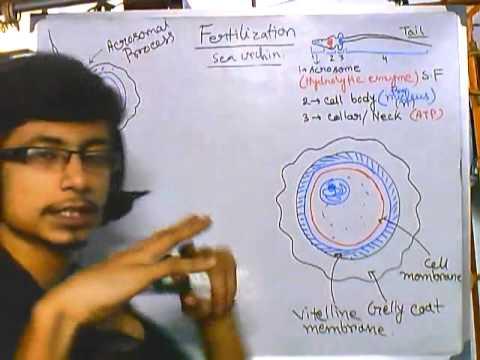 Developmental biology part 4 : sea urchin fertilization