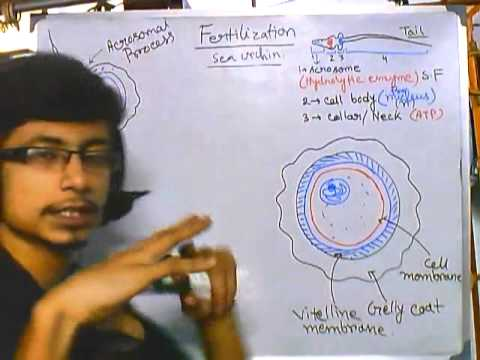 an analysis of exploring the fertilization of sea urchins Fertilization after a sperm cell comes in contact with the outer layers of an egg cell, the acrosome, which is a prominence at the anterior tip of the spermatozoa, undergoes a series of well-defined structural changes that opens a path for the sperm nucleus.
