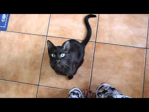 Gauderic Havana Brown Cat