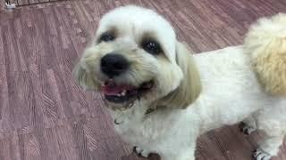 ラサ・アプソは幸福を運んで来る犬の言い伝えがあります。