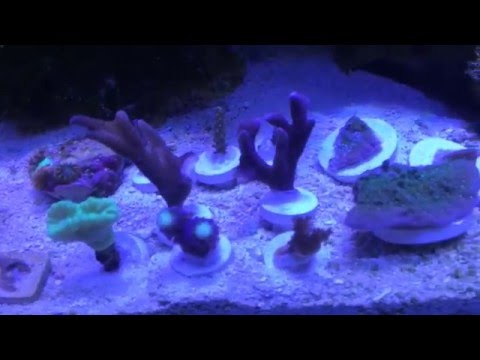 How To Frag- Coral Propagation: Tyree Undata, Purple Digi, Birds Nest
