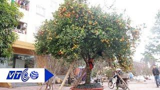 Ngắm cây quýt cổ thụ 105 tuổi   VTC