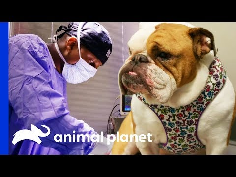 Huge Obstruction Removed From Bulldog's Stomach | The Vet Life