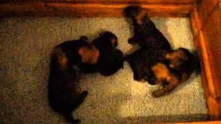Border Terrier Puppies-3 Weeks Old