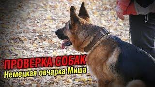 Внезапная атака на хозяина | Проверка собаки: Немецкая овчарка Миша