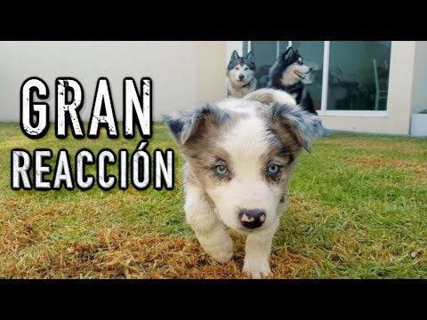 CACHORRO reacciona a 2 perros ADIESTRADOS - IMPRESIONANTE
