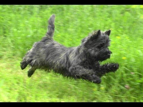 . Cairn Terrier on a walk.