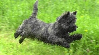 Керн терьер на прогулке. Cairn Terrier On A Walk.