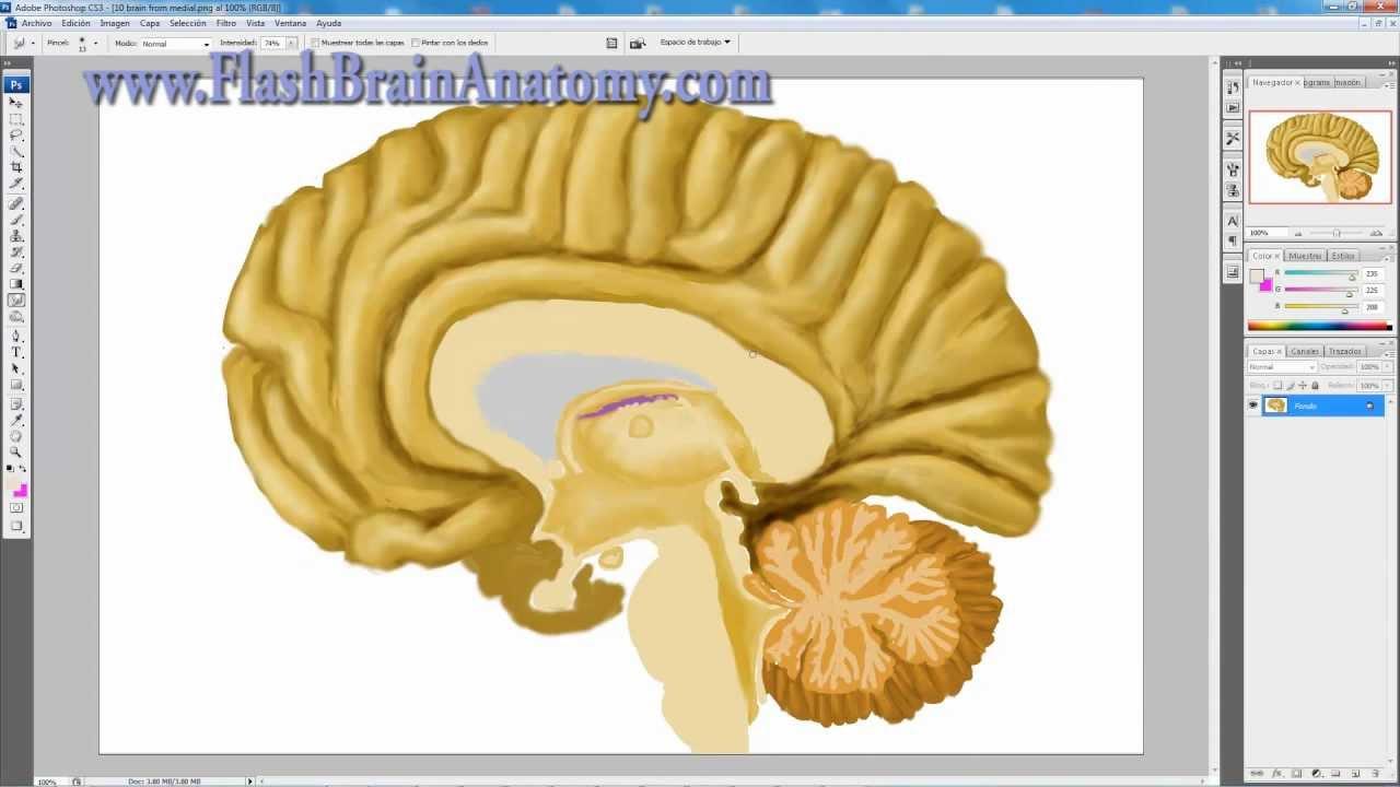 Brain Anatomy - Medial Cortex Of The Brain Drawing - YouTube