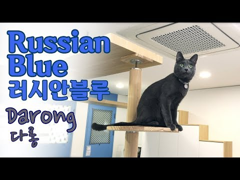 The Cat's Diary 다롱 Darong 러시안블루 Russian Blue 고양이 cat