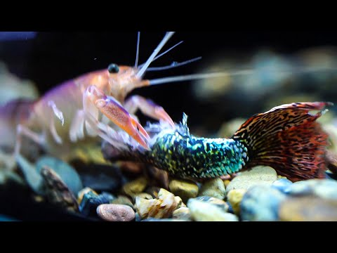 Crayfish eat Guppy | Thử cho Tôm ăn cá 7 màu