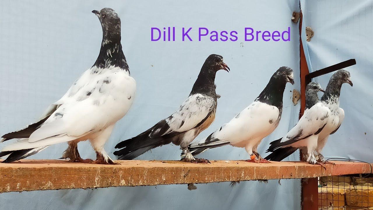 Dill k Pass Breed By Saqi Bhai