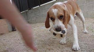 ボールを使って庭で遊んだ時の様子です('ω')ノ とりあえずおやじはノー...