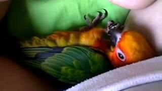 Kiwi the Baby Sun Conure Cuddles and Falls Asleep
