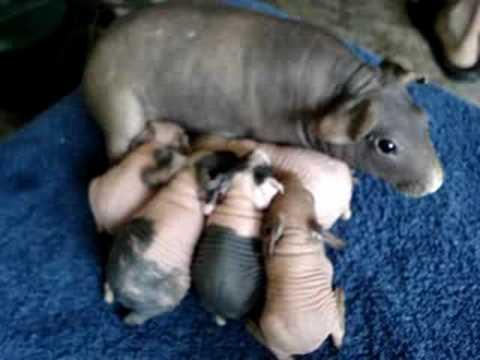 Skinny Pig Babies