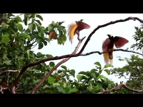 Cendrawasih the Amazing of Indonesia bird