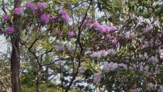 京都大原にある天ヶ岳シャクナゲ尾根に満開のシャクナゲを訪れました。