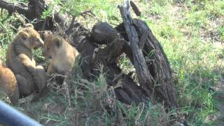 lion cub crying for mommy