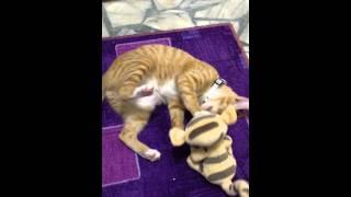 米Q很喜歡躺著和跳跳虎玩。肆無忌彈。