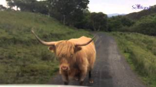 Scotland - Wester Ross - Moo Take The Low Road