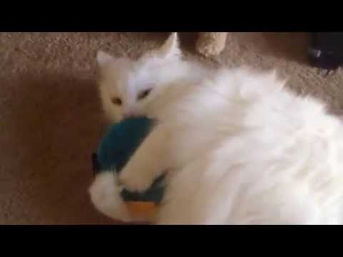 Norwegian Forest cat loves his toy!