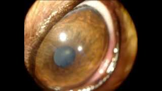 Vitreous Floaters In A 3 Year-old Yorkshire