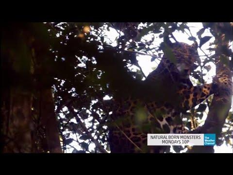Natural Born Monsters: Tracking a Jaguar