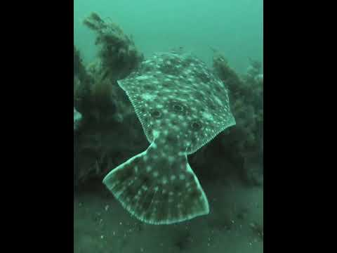 New York Scuba Diving Giant Fluke and lobsters