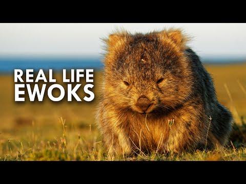 Wombats Look Like