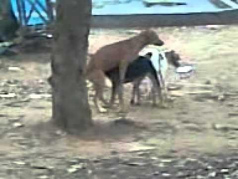 Un chien et une chienne collé ! ! ! ! - YouTube