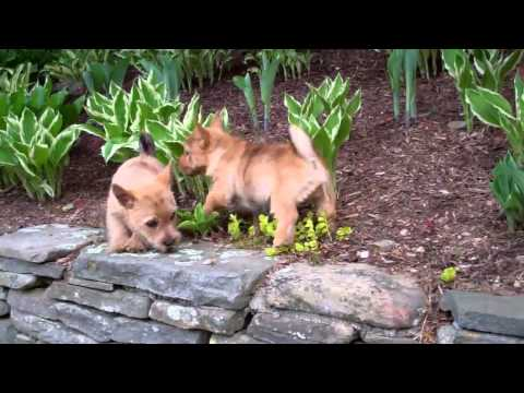 Norwich Terrier pups 10wks old outside Lola X Winston litter