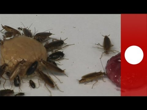 Cockroaches Set For Bitter End - Science