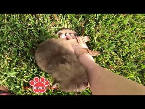 PuppyFinder.com : Crispin the Teacup Havapoo (Havanese/Poodle)
