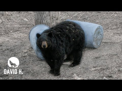 Spirit Rising (Black Bear Hunting CANADA!!!) 7 Feet!